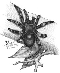 Mexican Red Knee 2017-07-06 by Blood-Huntress