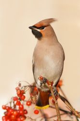 Waxwing at sunset by thrumyeye