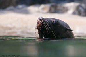 Brown Fur Seal by amrodel