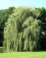 Weeping Willow by Dowlphin