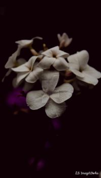 Phlox by LSPhotographyStore