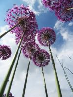 Alliums by handtoeye
