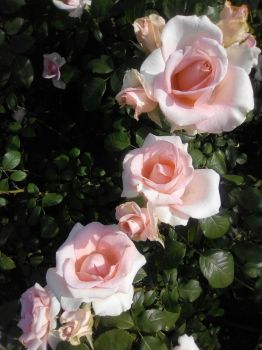 Roses in the city of Volgograd by Not-Sleeping-Owl