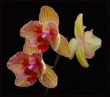 ORCHIDS 18 by THOM-B-FOTO