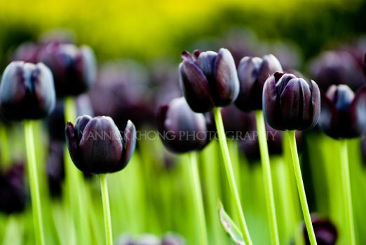 Line of black tulips by confucius-zero