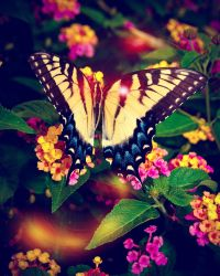 Butterfly by Enidphotography
