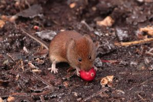 Bank Vole with a cranberry by pell21