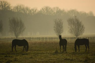 Black Horses in Fog by LuDa-Stock