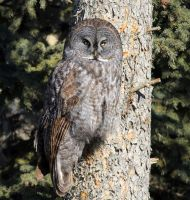 Great Grey Owl by sgt-slaughter