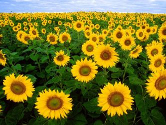 Sunflower Wallpaper by Sunflower-Club