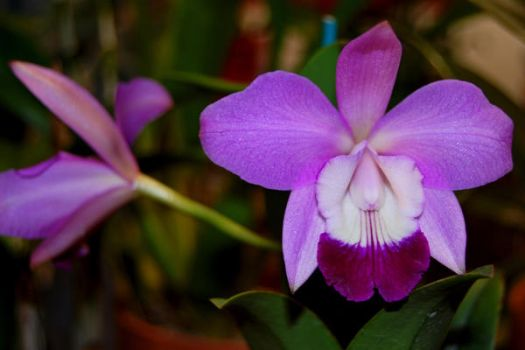 Orchid VII by NickyNovacaine