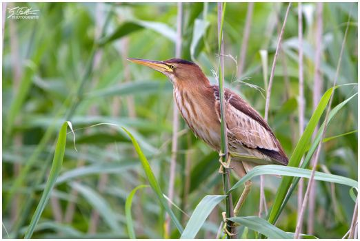 Little Bittern by Swordtemper