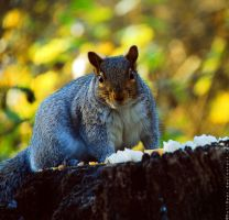 Another Squirrel by KatiBear