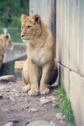 Young lioness. by Ravenith