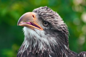 One Confused Eagle by gerryray