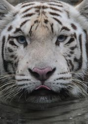 White Bengal Tiger.8915.2 by DPasschier