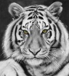Black and White Tiger (drawing) by Quelchii