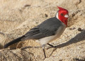 Paia Red-crested Cardinal by Ciameth