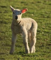 Young Lamb by twilliamsphotography
