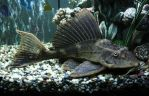 Sailfin Plecostomus II by copperarabian