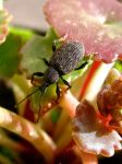 Vine Weevil by KateHodges