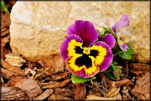 Pansy by TThealer56