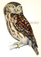 Athene noctua by Psamophis
