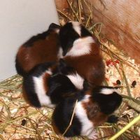 Baby Guinea Pigs by uberpirate