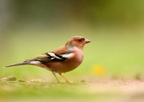 Chaffinch by corsuse