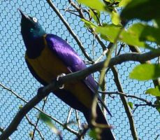 Golden Breasted Starling 003 by Elluka-brendmer