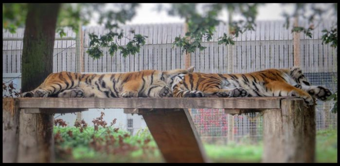 An exhaustion of tigers by SilverMixx