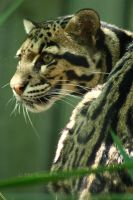 Clouded Leopard by timseydell