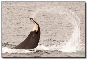Orca Tail Flip by ricmerry