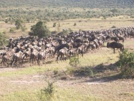 Wildebeest Migration by RyosukeHikashu