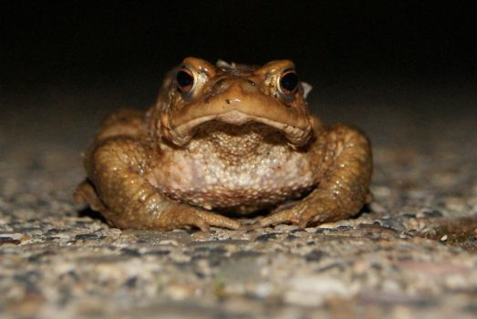 Toad by gaothaire