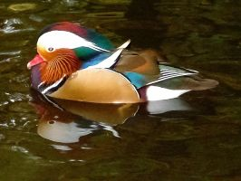 swimming mandarin duck by Dieffi