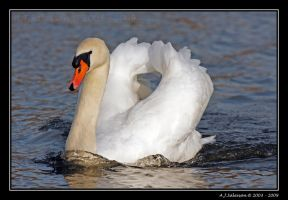 Mute Swan by andy-j-s