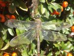 Lesser Emperor dragonfly by mossagateturtle