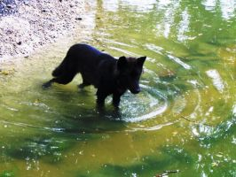 Black Wolf in Water by LunaMoonblade