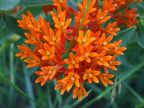 Orange Flowers of some sort 2013 by Aneirin-Aryon