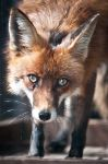 Curious Fox by amrodel