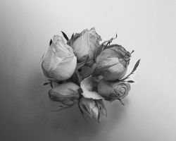 Grey roses by Moolver-sin