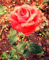 Red Rose by tinuvielluthien