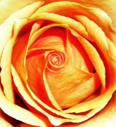 rose collection by rinners