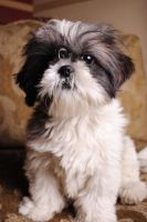 Shih Tzu by christian0323