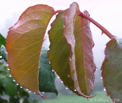 Dew Jewels On Leaves I 007 by Eolhin