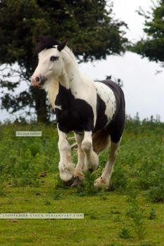Traditional Gypsy Cob Stock 5 by s-uperflu0us
