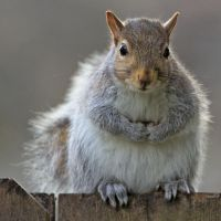 Eastern gray squirrel 49 by EasternGraySquirrel