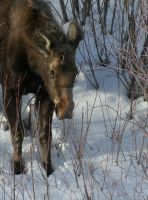Baby Moose by MarceeB
