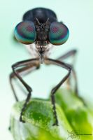 Robber Fly - Asilidae by ColinHuttonPhoto